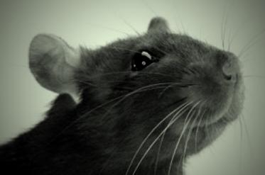 Hay ratas que sí
