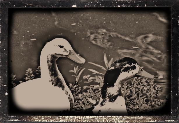 Patos y primavera