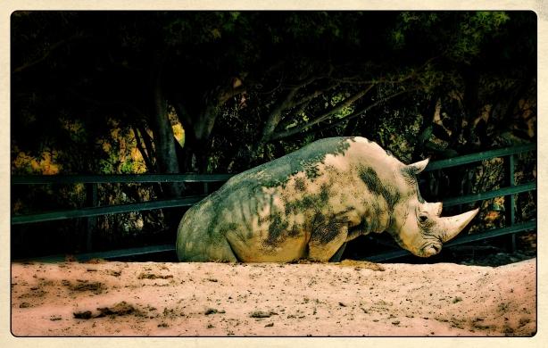 Rinoceronte Africam Puebla Nikon Abr 2012
